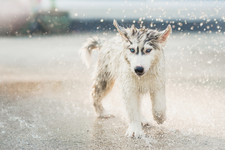 5 Cool Facts About Siberian Husky Dogs Simply Life