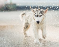 5 Cool Facts About Siberian Husky Dogs